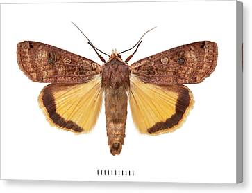 Large Yellow Underwing Canvas Print