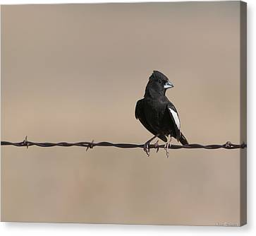 Canvas Print featuring the photograph Lark Bunting by Avian Resources