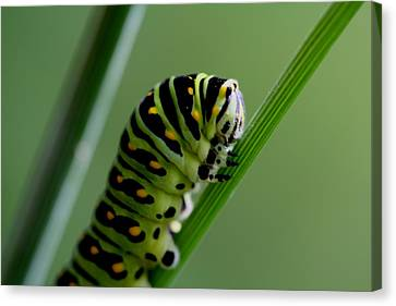 Larva...caterpillar  Canvas Print by Larry Trupp