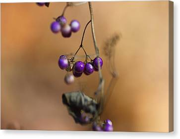 Last Of The Berries Canvas Print by Katherine White