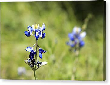 Last Of The Bluebonnets Canvas Print by Lorri Crossno