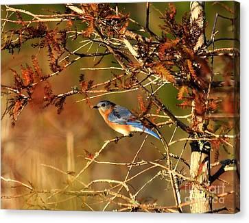 Late Fall Bluebird Canvas Print