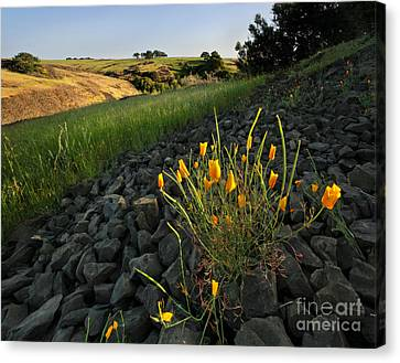Late Poppies On North Table Mountain Canvas Print by Matt Tilghman