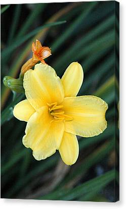 Late Summer Lily Canvas Print by James Hammen