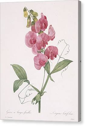 In Bloom Canvas Print - Lathyrus Latifolius Everlasting Pea by Pierre Joseph Redoute