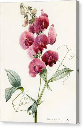 Lathyrus Latifolius Everlasting Pea Canvas Print by Louise D Orleans
