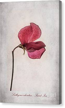 Lathyrus Odoratus - Sweet Pea Canvas Print by John Edwards