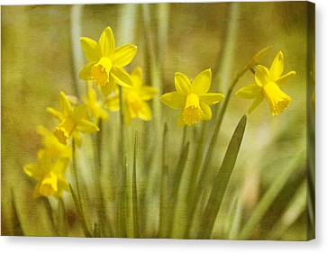 Laughing Dafs Canvas Print by Rebecca Cozart