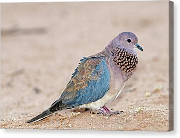 Senegal Canvas Print - Laughing Dove Calling by Tony Camacho