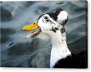 Laughing  Duck Canvas Print by Caitlyn  Grasso