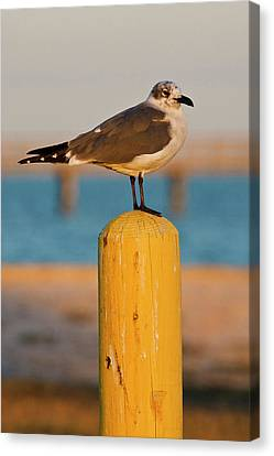 Laughing Gull (larus Atricilla Canvas Print by Larry Ditto