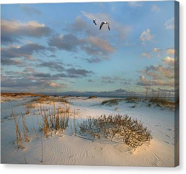 Laughing Gulls Flying Over Dunes Gulf Canvas Print by Tim Fitzharris