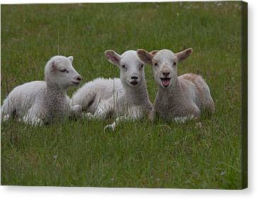 Laughing Lamb Canvas Print by Richard Baker