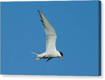 Laughing Tern Canvas Print