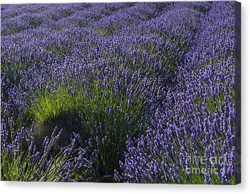 Lavender Rows Canvas Print