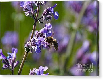 Lavender And Bee Canvas Print by Gloria Pasko