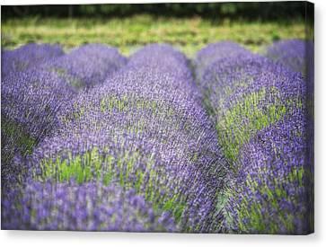 Lavender Blooms Canvas Print by Vicki Jauron