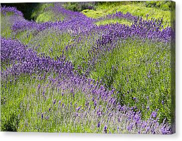 Lavender Day Canvas Print