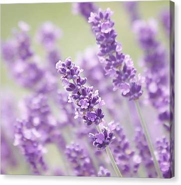 Lavender Dreams Canvas Print by Kim Hojnacki