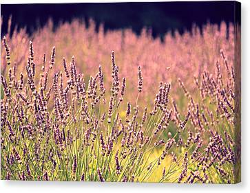 Canvas Print featuring the photograph Lavender Dreams by Lynn Sprowl