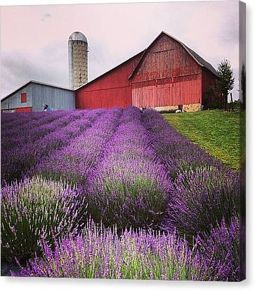 Lavender Farm Landscape Canvas Print by Christy Beckwith