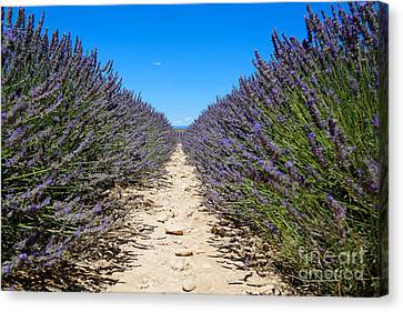 South Of France Canvas Print - Lavender Field, France by Adam Sylvester
