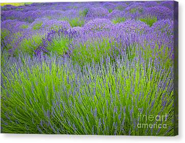 Lavender Field Canvas Print by Inge Johnsson