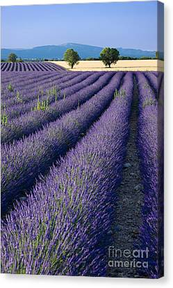 Lavender Fields Canvas Print by Brian Jannsen