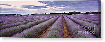 Lavender Fields Canvas Print by Rod McLean