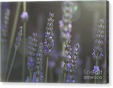 Canvas Print featuring the photograph Lavender Flare. by Clare Bambers