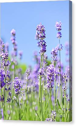 Lavender Flowering Canvas Print by Elena Elisseeva