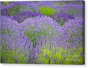 Lavender Flowers Canvas Print by Inge Johnsson
