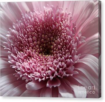 Lavender Gerbera Up Close Canvas Print by Cathy Lindsey