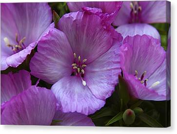 Lavender Godetia Flowers Canvas Print by Carol Welsh