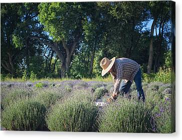 Canvas Print featuring the photograph Lavender Harvest by Mary Lee Dereske