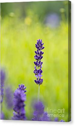 Lavender Hidcote Canvas Print by Tim Gainey