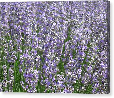 Canvas Print featuring the photograph Lavender Hues by Pema Hou