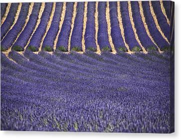 Lavender Lines Canvas Print by Joachim G Pinkawa