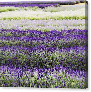 Lavender Lines  Canvas Print by Tim Gainey