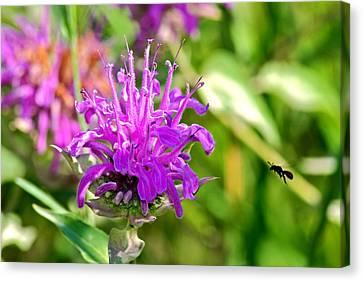 Canvas Print featuring the photograph Lavender Pink Bee Balm Wild Bergamot by Karon Melillo DeVega