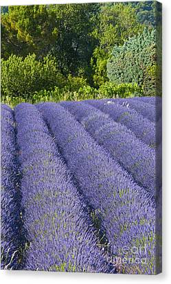 Lavender Rows Canvas Print by Bob Phillips