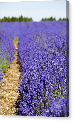 Lavender's Blue Canvas Print by Anne Gilbert