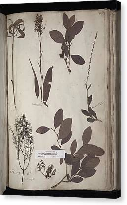 Lawson Plant Specimens Canvas Print by Science Photo Library