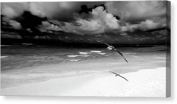 Albatross Canvas Print - Laysan Albatross French Frigate Shoals by Paul D Stewart