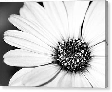 Lazy Daisy In Black And White Canvas Print by Sabrina L Ryan