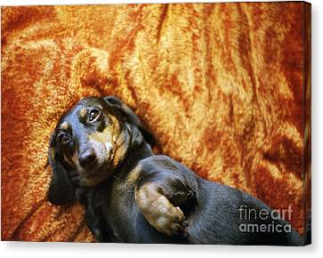 Lazy Dog Canvas Print by Angel  Tarantella