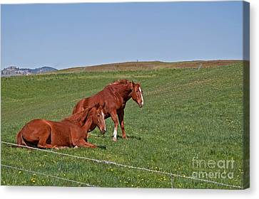 Canvas Print featuring the photograph Lazy Horses by Valerie Garner
