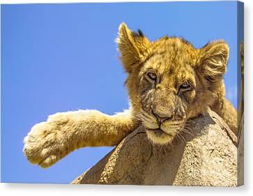 Lazy Lion Canvas Print by Diane Diederich