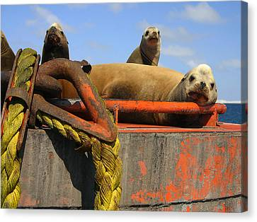 Lazy Sealions Canvas Print by Doug Gould