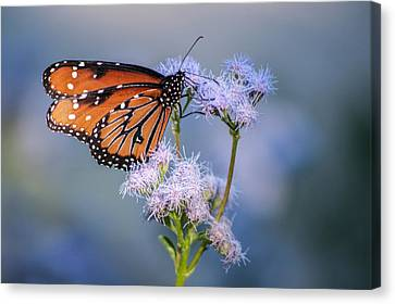 8x10 Metal - Queen Butterfly Canvas Print